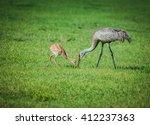 A sandhill crane chick (Grus Canadensis) shadow