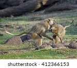 Male Baboons  Papio Anubis ...