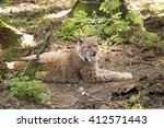 carpathian lynx lynx lynx...   Shutterstock . vector #412571443