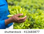fresh tea leafs in woman's hand ... | Shutterstock . vector #412683877
