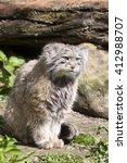 Small photo of Pallas' cat, manul Otocolobus, among the most beautiful cats