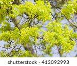 blooming norway maple  acer...   Shutterstock . vector #413092993