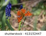 Polygonia C Album On A Flower....