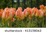 Apricot Coloured Tulips. A Bed...