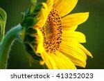 growing sunflower  | Shutterstock . vector #413252023