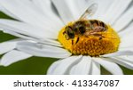 Honey Bee Collecting Nectar On...
