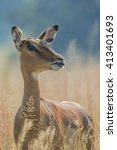 Small photo of The impala (Aepyceros melampus) ~ South Africa