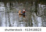 Small photo of The mandarin duck is regarded as the world's most beautiful duck. It's a native of China & Japan. The ducks are lifelong couples.They are regarded in China as a symbol of conjugal affection & fidelity