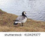 Black Goose Barnacle Goose ...