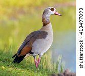Small photo of Egyptian goose (Alopochen aegyptiacus) on a lake in Europe