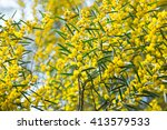 Close Up Of Australian Acacia...