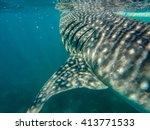 A Whale Shark Feeding Near The...