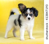 Stock photo cute puppy of the continental toy spaniel papillon on a yellow background 413847193