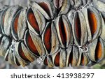 Macro Of Banksia Cone And Seed...