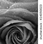Rose With Petals  Macro Closeu...