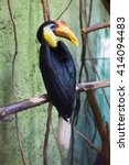 Small photo of Sunda wrinkled hornbill (Aceros corrugatus). Wild life animal.