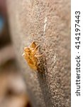Small photo of Picture of dried cicada shell, cicada molting, slough on the roof in sunshine morning, Thailand.