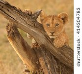 Lion Cub Pose  Panthera Leo