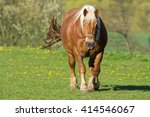 Brown Coldblood Horse