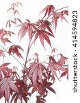 Small photo of Acer palmatum Bloodgood