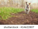 Stock photo running dog at summer jumping fun and happy pet walking outdoors 414622807
