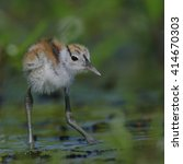 Small photo of African jacana chick walking on lilies looking for food