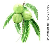 indian gooseberry  phyllanthus... | Shutterstock . vector #414947797