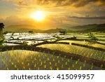 Golden Rice Fields In The...