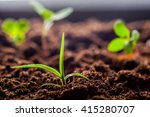 Growing Young Green Corn...