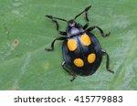 Small photo of Handsome Fungus Beetle, Endomychidae