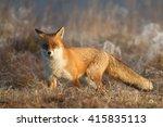 mammals   red fox  vulpes... | Shutterstock . vector #415835113