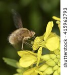 Small photo of Bombyliidae, a family of flies (bee flies). Adults feed on nectar and pollen, some being important pollinators