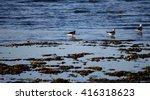 seagulls and oystercatcher... | Shutterstock . vector #416318623