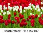 Field Of Tulips. Flowers Tulip...