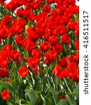 Bright Vibrant Red Tulips With...