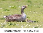 Greylag Goose Protecting Her...