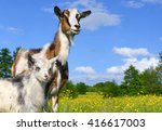 Goat With Kid On Summer Pasture