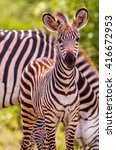 wild african baby zebra and... | Shutterstock . vector #416672953