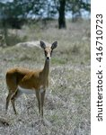 Small photo of Impala, Aepyceros melampus, lives in lager herd, Gorongosa National Park in Mozambique