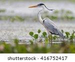 cocoi heron  ardea cocoi ... | Shutterstock . vector #416752417