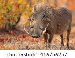warthog  phacochoerus africanus ... | Shutterstock . vector #416756257