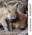 wild piglets sleeping on the...   Shutterstock . vector #416826637