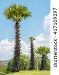 Palmyra  Sugar Palm  Borassus...