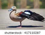 Portrait Of A Cute Duck  Ringe...