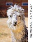 Small photo of Lama alpaca exotic animals at the zoo