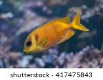 blue spotted spinefoot  siganus ...