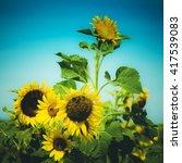 the sunflower field vintage... | Shutterstock . vector #417539083
