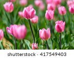 amazing nature of pink tulips... | Shutterstock . vector #417549403