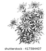 edelweiss etching  rare flowers ... | Shutterstock .eps vector #417584407