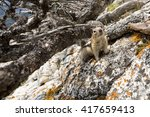 Small photo of Golden-Mantled Ground Squirrel (Callospermophilus lateralis) sheltering underneath a dead shrub on a rocky outcrop in the Canadian Rockies.